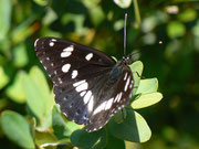 Limenitis reducta (Blauschwarzer Eisvogel) / NYMPHALIDAE/Nymphalinae (Edelfalter)