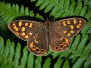Pararge xiphioides (Kanaren-Waldbrettspiel, Kan. Inseln, Männchen) / NYMPHALIDAE/Satyrinae (Edelfalter)