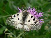 Parnassius phoebus (Hochalpen-Apollo) /  PAPILIONIDAE/Parnassinae (Ritterfalter)