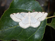 Stegania trimaculata (Dreifleck-Pappelspanner) / GEOMETRIDAE/ Ennominae (Spanner)