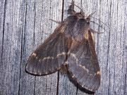 Poecilocampa populi (Kleine Pappelglucke, Weibchen) / LASIOCAMPIDAE (Glucken)