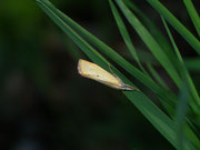 Xanthocrambus saxonellus