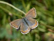 Polyommatus bellargus (Hauhechelbläuling) Weibchen