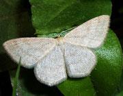 Scopula ternata (Heidelbeer-Kleinspanner) / GEOMETRIDAE/ Sterrhinae (Spanner)
