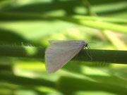 Udea austriacalis / CRAMBIDAE/Spilomelinae (Zünsler)