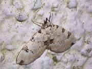 Colostygia pectinataria (Prachtgrüner Bindenspanner) / GEOMETRIDAE/Larentiinae (Spanner)