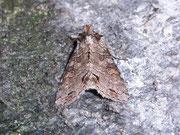 Polia hepatica (Birken-Blättereule) / NOCTUIDAE (Eulen)