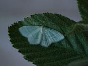 Jodis lactearia (Laubwald-Grünspanner) / GEOMETRIDAE/Geometrinae (Spanner)
