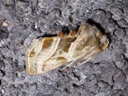 Euchalcia variabilis (Eisenhut-Höckereule) / NOCTUIDAE (Eulen)