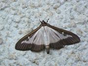 Cydalima perspectalis / CRAMBIDAE/Spilomelinae (Zünsler)