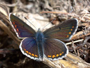Polyommatus dorylas (Wundkleebläuling, Weibchen) / LYCAENIDAE/Polyommatini (Bläulinge)