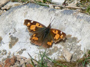 Libythea celtis (Zürgelbaum-Schnauzenfalter) / NYMPHALIDAE/Libytheinae (Edelfalter)
