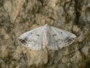 Lomographa temerata (Schattenbinden-Weissspanner) / GEOMETRIDAE/ Ennominae (Spanner)
