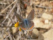 Polyommatus hispana (w)
