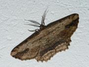 Menophra abruptaria (Lederbrauner Rindenspanner) (Heidespanner) / GEOMETRIDAE/Ennominae (Spanner)