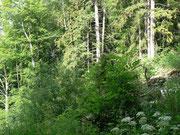 Hochstaudenfluren am Waldrand im Kanton Bern