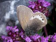 Coenonympha gardetta (Alpen-Wiesenvögelchen) / NYMPHALIDAE/Coenonymphini (Edelfalter)