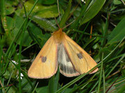 Diacrisia sannio (Rotrandbär, Männchen) / ARCTIDAE/Arctiinae (Bärenspinner)