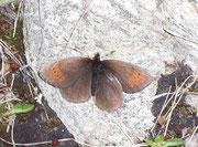 Erebia pandrose (Graubrauner Mohrenfalter) / NYMPHALIDAE/Tr. Erebiini (Edelfalter)