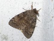 Lymantria dispar (Schwammspinner, Männchen) / LYMANTRIIDAE (Trägspinner)