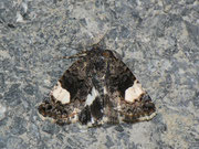 Tyta luctuosa (Ackerwinden-Trauereulchen) / NOCTUIDAE (Eulen)