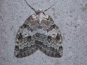Epirrita autumnata (Birken-Moorwald-Herbstspanner) / GEOMETRIDAE/Larentiinae (Spanner)