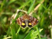 Panemeria tenebrata (Hornkraut-Tageulchen) / NOCTUIDAE (Eulen)