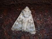 Hecatera bicolorata (Hasenlatticheule) / NOCTUIDAE (Eulen)