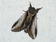 Pheosia gnoma (Birken-Porzellanspinner)