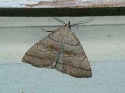Herminia tarsicrinalis (Braungestreifte Spannereule) / NOCTUIDAE/Herminiinae (Eulen)