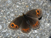 Erebia aethiops (Graubindiger Mohrenfalter, Weibchen) / NYMPHALIDAE/Tr. Erebiini (Edelfalter)