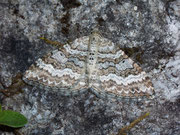 Epirrhoe molluginata