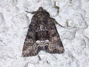 Oligia versicolor (Buntes Halmeulchen) / NOCTUIDAE (Eulen)