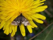 Pyrausta cingulata / CRAMBIDAE/Pyraustinae(Zünsler)