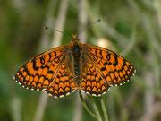 Melitaea deione (Männchen) / NYMPHALIDAE/Tribus Meliteaini (Edelfalter)