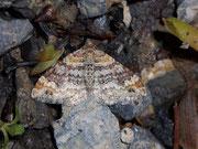 Xanthorhoe spadicearia (Heller Rostfarben-Blattspanner) / GEOMETRIDAE/Larentiinae (Spanner)