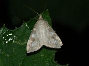 Udea elutalis / CRAMBIDAE/Spilomelinae (Zünsler)