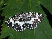 Rheumaptera hastata (Grosser Speerspanner) / GEOMETRIDAE/Larentiinae (Spanner)