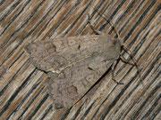 Ammoconia caecimaula (Graubraune Frühherbsteule) / NOCTUIDAE (Eulen)