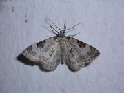 Perizoma blandiata (Augentrost-Kapselspanner) / GEOMETRIDAE/Larentiinae (Spanner)