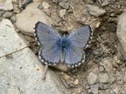 Pseudophilotes panoptes (Männchen)  / LYCAENIDAE/Polyommationi (Bläulinge)