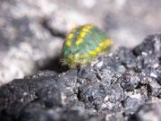 Polyommatus coridon (Raupe mit eingezogenem Kopf)