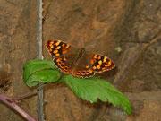 Pararge xiphioides (Kanaren-Waldbrettspiel, Kan. Inseln, Weibchen) / NYMPHALIDAE/Satyrinae (Edelfalter)