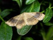 Idaea aversata (Doppellinien-Zwergspanner) / GEOMETRIDAE/Sterrhinae (Spanner)