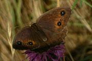 Satyrus ferula (Südlicher Waldportier, Weibchen) / NYMPHALIDAE/Satyrinae (Edelfalter)