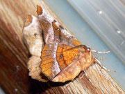 Selenia tetralunaria (Violettbrauner Mondfleckspanner) / GEOMETRIDAE/Ennominae (Spanner)