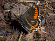 Aricia cramera / LYCAENIDAE/Polyommatini (Bläulinge)