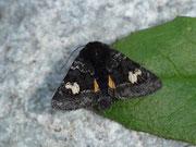 Coranarta cordigera (Moor-Bunteule) / NOCTUIDAE/Hadenidae (Eulen)