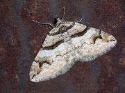 Pareulype berberata (Berberitzenspanner)  / GEOMETRIDAE/Larentiinae (Spanner)