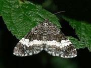 Geometridae (Spanner)